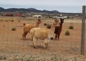 Llama farm on the way to Madrid