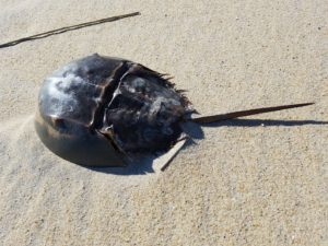 Adorable horseshoe crab